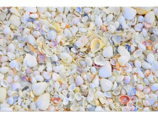 4983474-Sanibel_shelling_Sanibel_Island