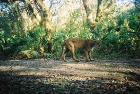 Florida Panther (deze is van Internet!)
