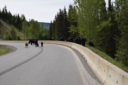 Livestock op de weg