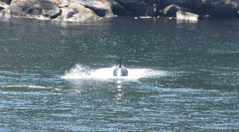 Orca 4